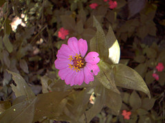 jamaican_flowers_1
