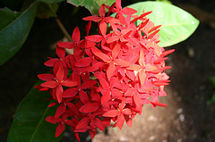 jamaican_flowers_10