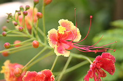 jamaican_flowers_11
