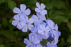jamaican_flowers_14