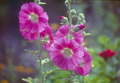 jamaican_flowers_22
