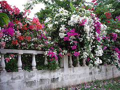 jamaican_flowers_25