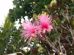 jamaican_flowers_26