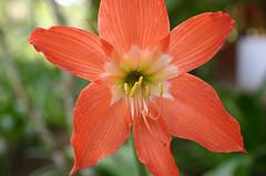 jamaican_flowers_5