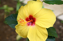 jamaican_flowers_7