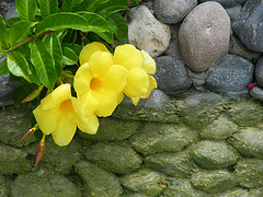 jamaican_flowers_8