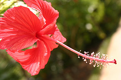 jamaican_flowers_9