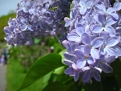 jamaican_flowers_lilacs