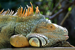 An Iguana Of Jamaica Resting