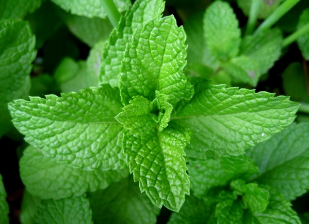 jamaican peppermint
