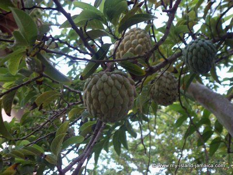 jamaican sweet sop tree