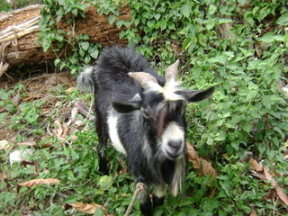 Jamaican Vacation- Goats