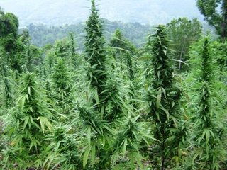 jamaican_weed_plants