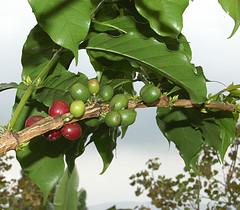 Jamaica's Coffee