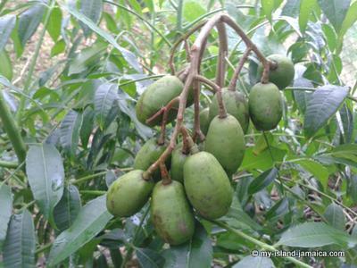 Jamaican June Plum On Tree -Dwarfed