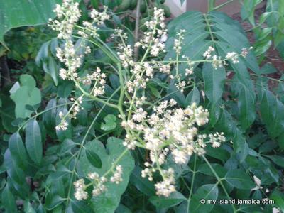 June Plum Flower- Budding