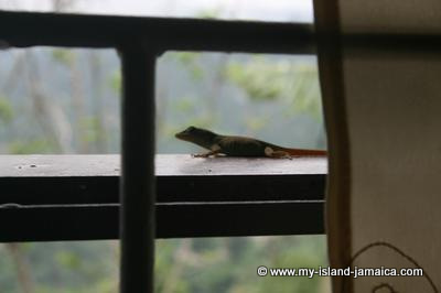 Lizards In Jamaica