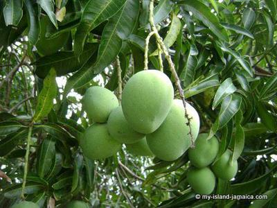 Jamaican Mangoes On Tree