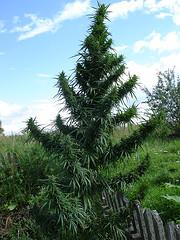 marijuana_in_jamaica_plant