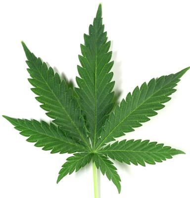 Leaf of Marijuana Plant