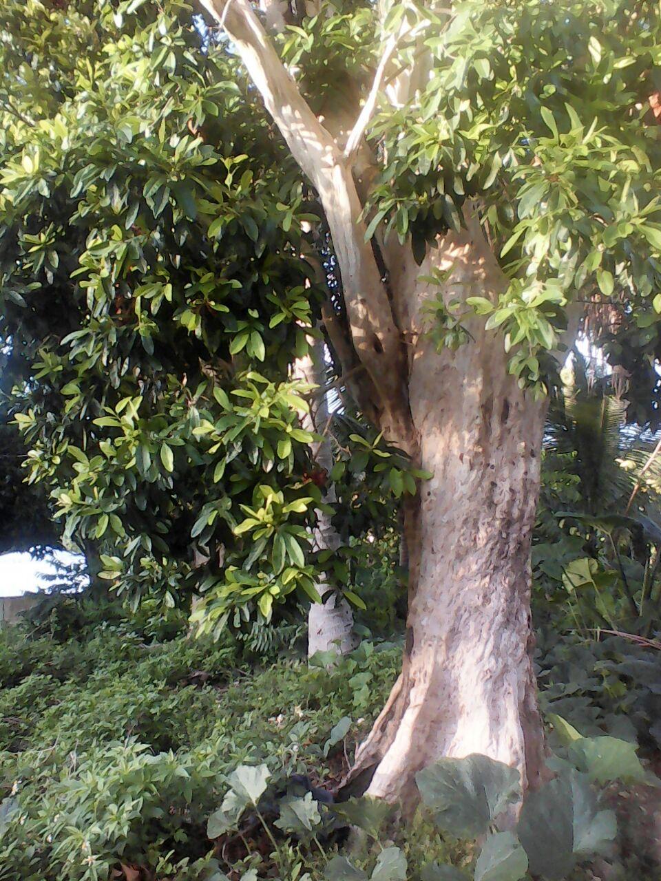 pimento_tree_pimenta_da_jamaica