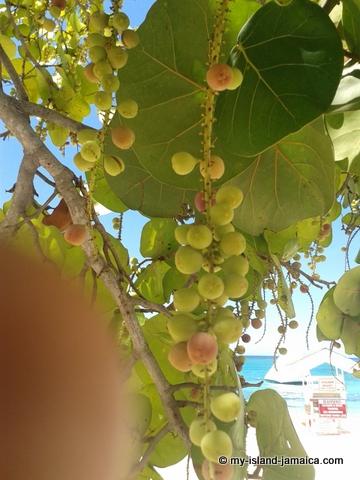 sea-grapes at cornwall beach