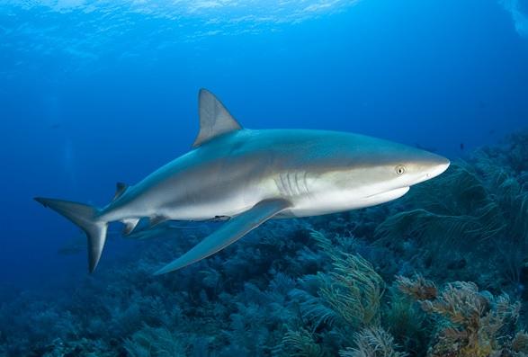sharks in jamaica