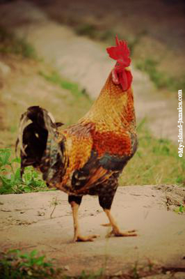 Jamaican Rooster