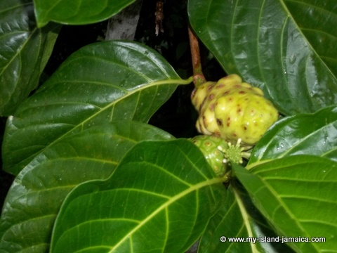 Jamaican Noni Tree At Tapioca Village Retreat