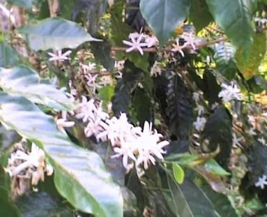 Jamaican Coffee flowers