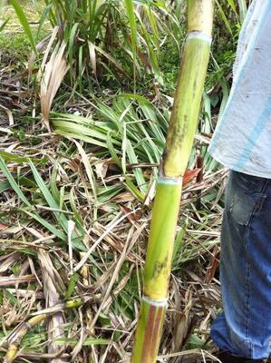 Jamaican Sugar Cane