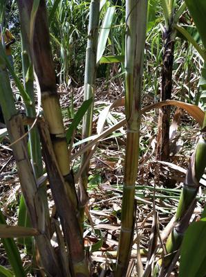 Mr Cane Jamaican Sugar Cane
