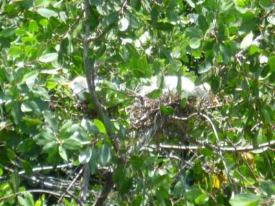 Egrets on nests on the Black River