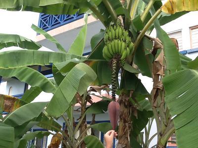 Jamaica Banana tree