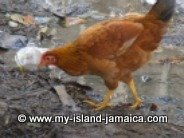 Jamaican Chicken searching for food
