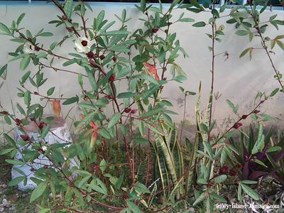 jamaican_sorrel_plant