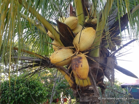 jamaica_beach_house_little_bay_cabins_coconuts