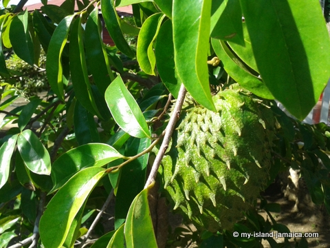 jamaican soursop