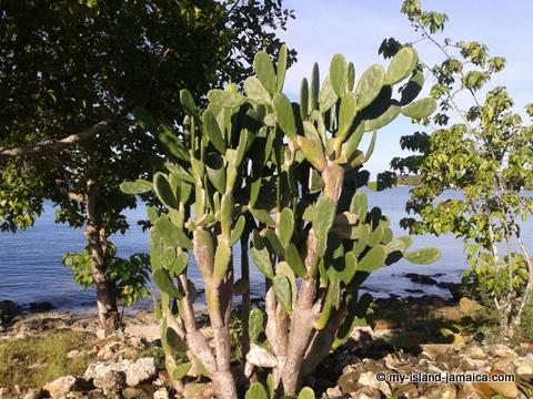 jamaica_beach_house_little_bay_cabins_tuna_cactus