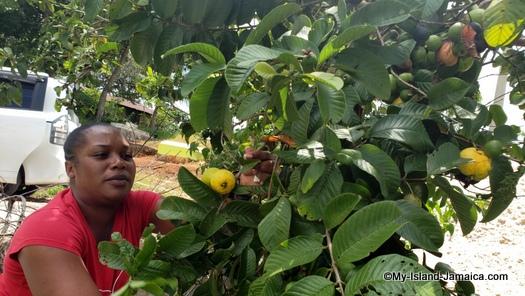 jamaica_road_trip_tasha_picking_guavas