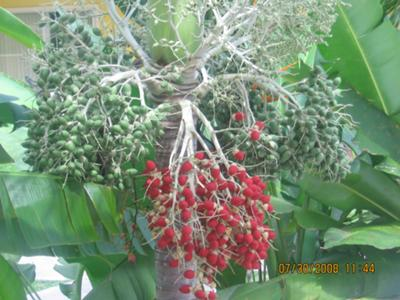 <b>Photo Contest Entry #7:</b><br>Jamaican Berries