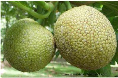 Jamaican Breadfruit on Tree