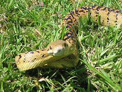 Jamaican Boa Snake