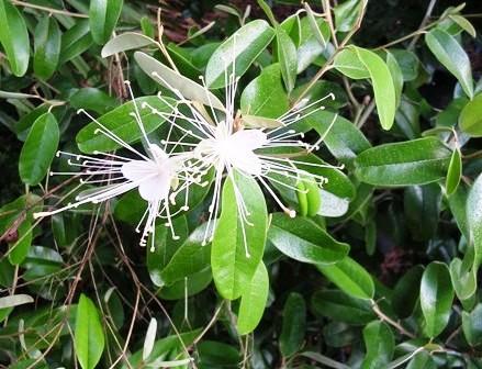 Jamaican Caper flower