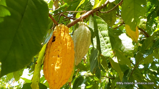 Jamaican cocoa bean on tree for chocolate tea production