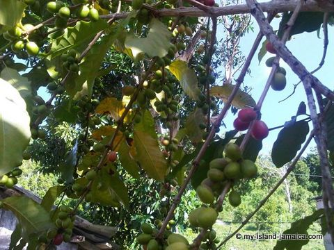 jamaican_coffee_beans_on_tree