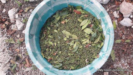 green jamaican allspice pimento in tub