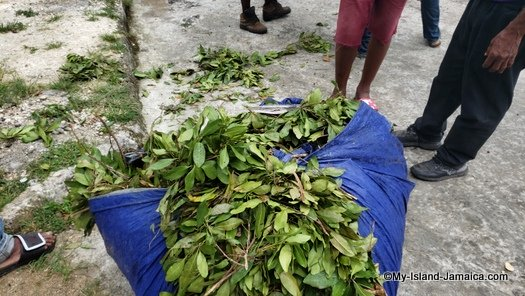 jamaican_pimento_tree_leaves