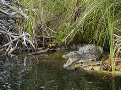 Black River - Crocodiles