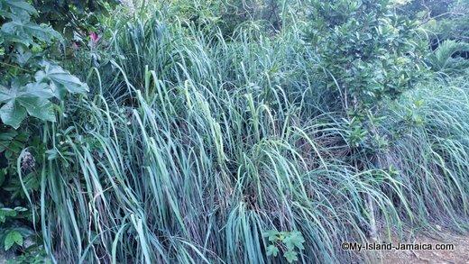 rastafari_indigenous_village_fever_grass